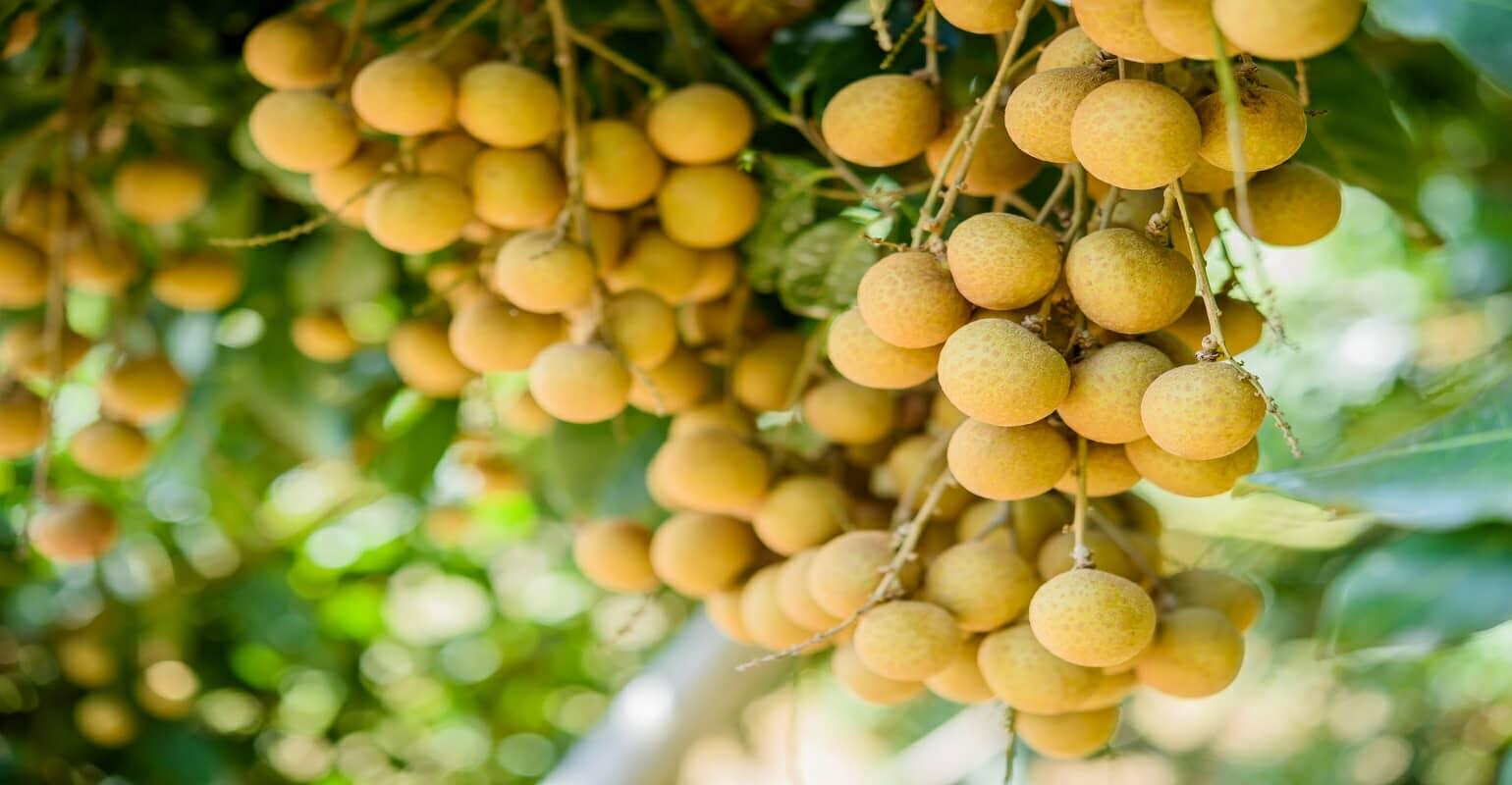 Longan and Safe agricultural products of Son La were warmly welcomed by Hanoi customers